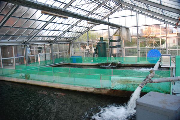 Chiaki pond only for keeping fish guide map for our for Koi warehouse sale