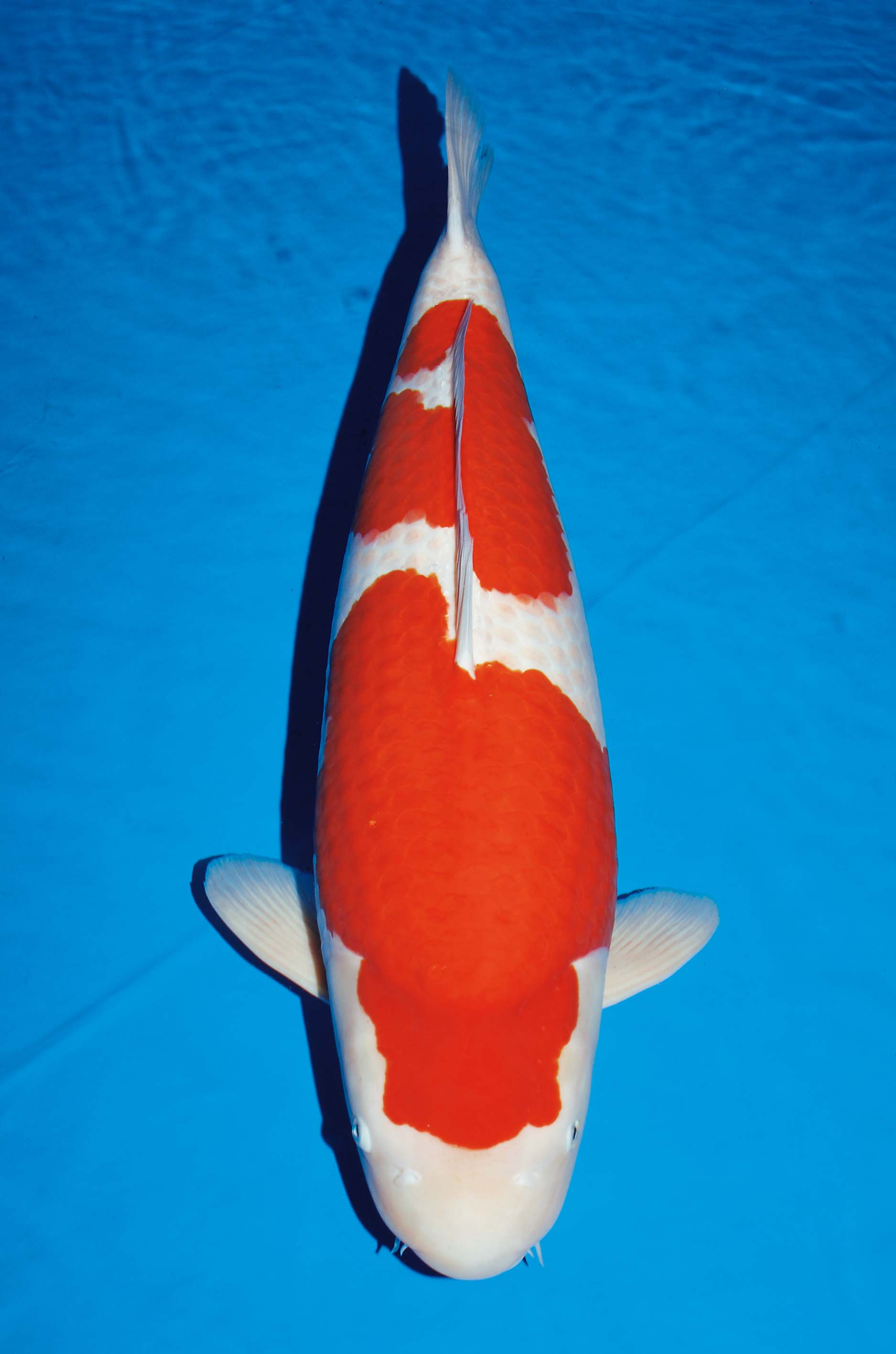 Image gallery kohaku koi for Koi hatchery